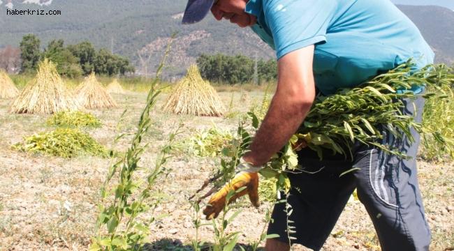 Küresel iklim Altın Susam'ı da vurdu