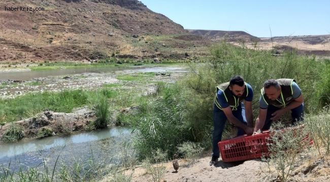 Siirt'te kene avcısı bin 60 sülün doğaya salındı